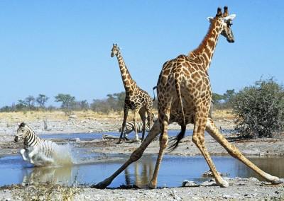 Action at the Watering Hole, Etosha National Park. Namibia