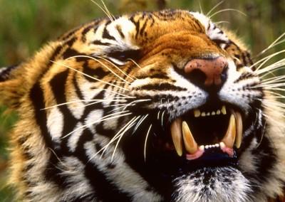 Bengal Tiger, Bangladesh, Nepal, India