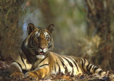 Bengal Tiger Resting, Bandhavgarh National Park, India