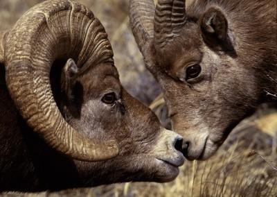 Big Horn Ram and Ewe