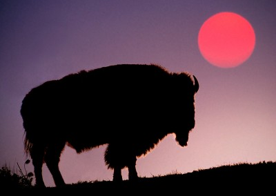 Bison Silhouetted at Sunrise, Yellowstone National Park, Wyoming