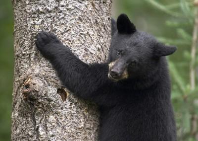 Black Bear Cub, Orr, Minnesota