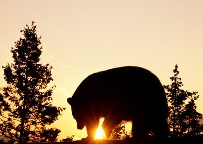Black Bear at Sunrise