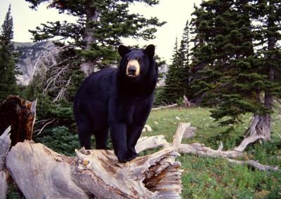 Black Bear on Stump, Montana