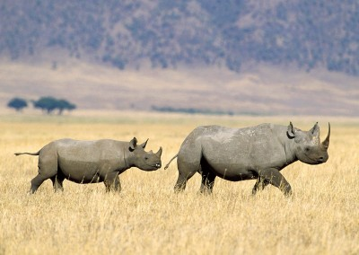Black Rhinoceros Crossing the Savannah, Tanzania