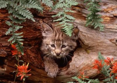 Bobcat Kitten in Hollow Log