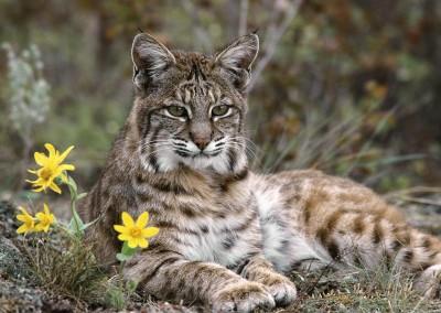 Bobcat, Montana