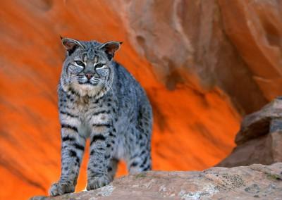 Bobcat, Utah