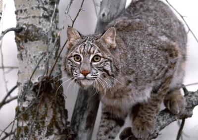 Bobcat on Tree