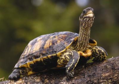Brown Wood Turtle
