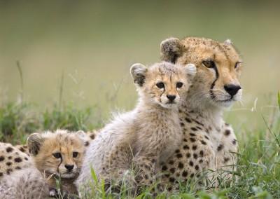 Cheetah Mother and Cubs, Maasai Mara Reserve, Kenya