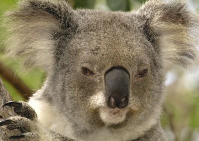 Koala Portrait, Lone Pine Koala Sanctuary, Brisbane, Australia