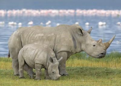 White Rhinoceros Pair, Lake Nakuru, Kenya